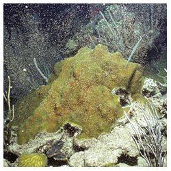 http://coralmates.criobe.pf/wp-content/uploads/2020/02/Adult_Coral_Squares-250x250.jpg