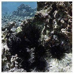 http://coralmates.criobe.pf/wp-content/uploads/2020/02/Herb_SeaUrchin_Squares-250x250.jpg