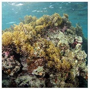 https://coralmates.criobe.pf/wp-content/uploads/2020/02/coralbommy_Squares-300x300.jpg